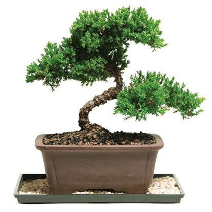 bonsai tree gift