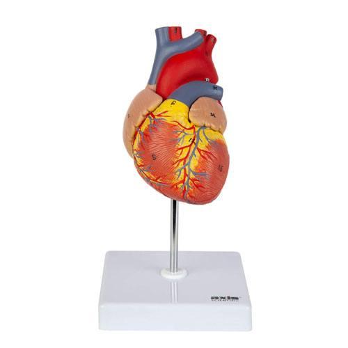 3d heart model gift