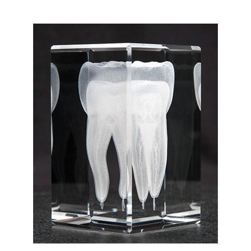 anatomy crystal tooth model
